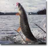 Muskie Fishing Leech Lake